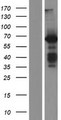 BAIAP2 / IRSP53 Protein - Western validation with an anti-DDK antibody * L: Control HEK293 lysate R: Over-expression lysate