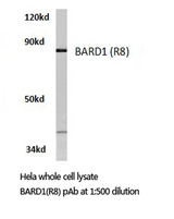 Western blot of BARD1 (R8) pAb in extracts from HeLa cells.