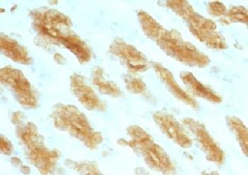 Basic Cytokeratin Antibody - Formalin paraffin rat stomach stained with Basic Cytokeratin antibody (KRTH/1076).  This image was taken for the unmodified form of this product. Other forms have not been tested.