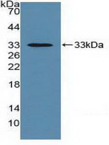 Basigin / Emmprin / CD147 Antibody - Western Blot; Sample: Recombinant EMMPRIN, Mouse.