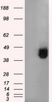 HEK293T cells were transfected with the pCMV6-ENTRY control (Left lane) or pCMV6-ENTRY BSG (Right lane) cDNA for 48 hrs and lysed. Equivalent amounts of cell lysates (5 ug per lane) were separated by SDS-PAGE and immunoblotted with anti-BSG.