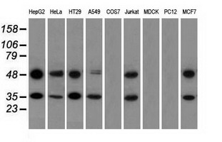 Western blot of extracts (35 ug) from 9 different cell lines by using anti-BSG monoclonal antibody.