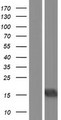 BATF3 Protein - Western validation with an anti-DDK antibody * L: Control HEK293 lysate R: Over-expression lysate