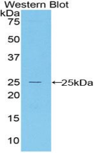 BAX Antibody - Western blot of recombinant BAX.  This image was taken for the unconjugated form of this product. Other forms have not been tested.