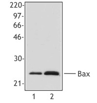 BAX Antibody - Western blot of extracts from HeLa cells (lane 1) and human PBMCs (lane 2) using anti-Bax, clone 2D2.