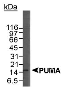 Detection of the beta isoform of PUMA in HL-60 whole cell lysate using LS-C2857(4 ug/ml). ECL detection at a 30 minute exposure.  This image was taken for the unconjugated form of this product. Other forms have not been tested.