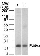 Western blot analysis for Puma a(CT) using antibody at 1:500 against 30 ug/lane of A)Jurkat and B) NIH 3T3whole cell lysate.