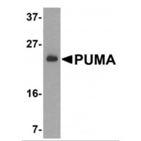 BBC3 / PUMA Antibody - Western blot analysis of PUMA expression in K562 cell lysate with PUMA antibody at 2 µg /ml.