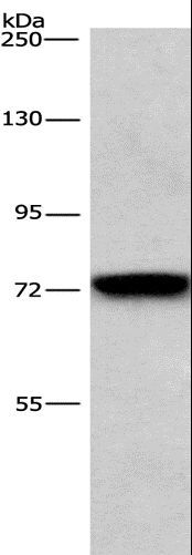 Western blot analysis of NIH/3T3 cell, using BCAM Polyclonal Antibody at dilution of 1:476.