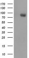 BCAP / PIK3AP1 Antibody - HEK293T cells were transfected with the pCMV6-ENTRY control (Left lane) or pCMV6-ENTRY PIK3AP1 (Right lane) cDNA for 48 hrs and lysed. Equivalent amounts of cell lysates (5 ug per lane) were separated by SDS-PAGE and immunoblotted with anti-PIK3AP1.
