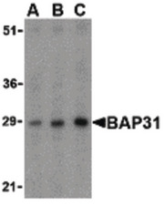Western blot of BAP31 in rat lung tissue lysate with BAP31 antibody at (A) 0.5, (B) 1 and (C) 2ug/ml.