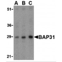 Western blot analysis of BAP31 in rat lung tissue lysate with BAP31 antibody at (A) 0.5, (B) 1 and (C) 2µg/mL.