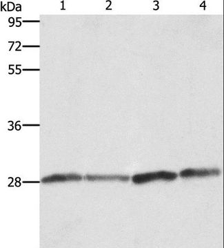 Western blot analysis of Human placenta tissue and A549 cell, Raji and HeLa cell, using BCAP31 Polyclonal Antibody at dilution of 1:750.