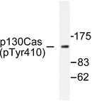 Western blot of p-p130 Cas (Y410) pAb in extracts from NIH-3T3 cells.