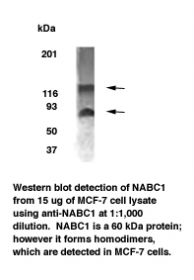 BCAS1 / NABC1 Antibody - A band of approximately 60 kDa is detected, however, protein dimerization may occur.