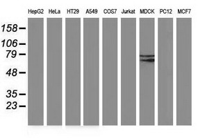Western blot of extracts (35 ug) from 9 different cell lines by using anti-BCHE monoclonal antibody (HepG2: human; HeLa: human; SVT2: mouse; A549: human; COS7: monkey; Jurkat: human; MDCK: canine; PC12: rat; MCF7: human).