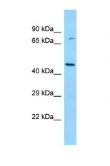 BCKDK antibody Western blot of Rat Brain lysate. Antibody concentration 1 ug/ml.  This image was taken for the unconjugated form of this product. Other forms have not been tested.