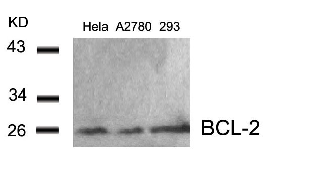 Western blot of extracts from HeLa, A2780 and 293 cells using BCL-2(Ab-56) antibody.