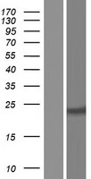 BCL2 / Bcl-2 Protein - Western validation with an anti-DDK antibody * L: Control HEK293 lysate R: Over-expression lysate