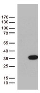 BCL2L11 / BIM Antibody - HEK293T cells were transfected with the pCMV6-ENTRY control. (Left lane) or pCMV6-ENTRY BCL2L11. (Right lane) cDNA for 48 hrs and lysed. Equivalent amounts of cell lysates. (5 ug per lane) were separated by SDS-PAGE and immunoblotted with anti-BCL2L11. (1:500)