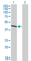 Western Blot analysis of BCS1L expression in transfected 293T cell line by BCS1L monoclonal antibody (M01), clone 5F3.Lane 1: BCS1L transfected lysate(47.534 KDa).Lane 2: Non-transfected lysate.