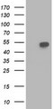 HEK293T cells were transfected with the pCMV6-ENTRY control (Left lane) or pCMV6-ENTRY BECN1 (Right lane) cDNA for 48 hrs and lysed. Equivalent amounts of cell lysates (5 ug per lane) were separated by SDS-PAGE and immunoblotted with anti-BECN1.