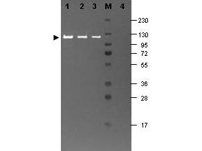 Anti-B-Galactosidase Antibody - Western Blot. Western blotting using Fluorescein conjugated anti-b-Galactosidase antibody shows a band at ~117 kD (lanes 1 - 3) corresponding to 60 ng, 30 ng and 15 ng, respectively of b-Gal present in partially purified preparations (arrowhead). Lane 4 shows no cross reactivity with proteins present in a non-specific control E. coli lysate. Proteins were resolved on a 4-20% Tris-Glycine gel by SDS-PAGE and transferred to nitrocellulose and blocking using Blocking Buffer for Fluorescent Western Blot. The membrane was probed with fluorescein conjugated anti-b-Galactosidase ( diluted to 1:10000. Reaction occurred for 2 hours at room temperature. Molecular weight estimation was made by comparison to a prestained MW marker in lane M. Fluorescence image was captured using the VersaDoc Imaging System developed by BIO-RAD. Other detection systems will yield similar results.