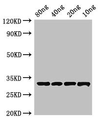 Western Blot Positive WB detected in Recombinant protein All Lanes:BLIP antibody at 4µg/ml Secondary Goat polyclonal to rabbit IgG at 1/50000 dilution Predicted band size: 33 kDa Observed band size: 33 kDa