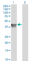 Western Blot analysis of BGN expression in transfected 293T cell line by BGN monoclonal antibody (M01), clone 4E1-1G7.Lane 1: BGN transfected lysate(41.7 KDa).Lane 2: Non-transfected lysate.