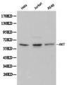 Western blot of Akt1 pAb in extracts from Hela, Jurkat and A549 cells.