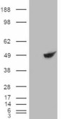 HEK293 overexpressing BHMT RC203148) and probed with (mock transfection in first lane).