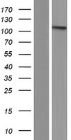 BICC1 Protein - Western validation with an anti-DDK antibody * L: Control HEK293 lysate R: Over-expression lysate