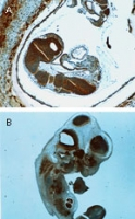 BID Antibody - Formalin-fixed, paraffin-embedded mouse embryos stained for Bid using Polyclonal Antibody toBid at 1:2000. A. Intra uterine embryo at E.95 days post conception. B. 10.5-11dpc embryo isolated from the yolk sac. Hematoxylin-Eos in counterstain.