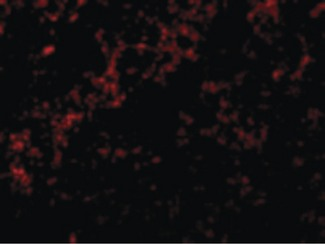 Immunofluorescence of Bid in Mouse Lung cells with Bid antibody at 10 ug/ml.