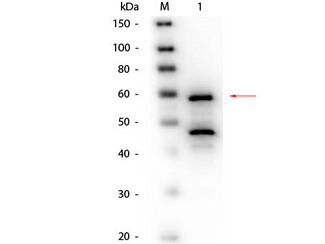 Bilirubin Oxidase Antibody - Western Blot of Goat anti-Bilirubin Oxidase (Myrothecium verrucaria) Antibody Biotin Conjugated. Lane 1: Bilirubin Oxidase (Myrothecium verrucaria). Load: 50 ng per lane. Primary antibody: Goat anti-Bilirubin Oxidase (Myrothecium verrucaria) Antibody Biotin Conjugated at 1:1,000 overnight at 4°C. Secondary antibody: HRP Streptavidin 1:40,000 in MB-070 for 30 min at RT. Block: MB-070 for 30 minutes at RT. Predicted/Observed size: 64 kDa, 60 kDa for Bilirubin Oxidase. Other band(s): Bilirubin Oxidase splice variants and isoforms.