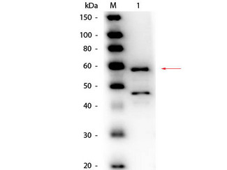 Bilirubin Oxidase Antibody - Western Blot of Goat anti-Bilirubin Oxidase (Myrothecium verrucaria) Antibody Peroxidase Conjugated. Lane 1: Bilirubin Oxidase (Myrothecium verrucaria). Load: 50 ng per lane. Primary antibody: Goat anti-Bilirubin Oxidase (Myrothecium verrucaria) Antibody Peroxidase Conjugated at 1:1,000 overnight at 4°C. Secondary antibody: n/a. Block: MB-070 for 30 minutes at RT. Predicted/Observed size: 64 kDa, 60 kDa for Bilirubin Oxidase. Other band(s): Bilirubin Oxidase splice variants and isoforms.