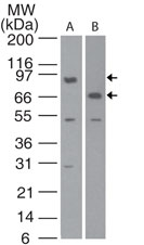 Western blot detection of c-IAP1 in human lung cell lysate. using antibody at 2 µg/ml dilution.