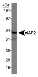 BIRC3 / cIAP2 Antibody - cIAP2/HIAD1 Antibody - Western blot on HeLa whole cell lysate.  This image was taken for the unconjugated form of this product. Other forms have not been tested.