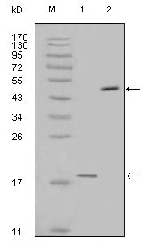 BIRC5 / Survivin Antibody - Western blot using survivin mouse monoclonal antibody against full-length survivin recombinant protein (1) and full-length survivin-GFP transfected Cos7 cell lysate (2).