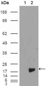 BIRC5 / Survivin Antibody - Western blot using Survivin mouse monoclonal antibody against HEK293T cells transfected with the pCMV6-ENTRY control (1) and pCMV6-ENTRY Survivin cDNA (2).