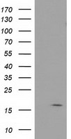 BIRC5 / Survivin Antibody - HEK293T cells were transfected with the pCMV6-ENTRY control (Left lane) or pCMV6-ENTRY BIRC5 (Right lane) cDNA for 48 hrs and lysed. Equivalent amounts of cell lysates (5 ug per lane) were separated by SDS-PAGE and immunoblotted with anti-BIRC5.