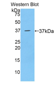 BLC / CXCL13 Antibody - Western blot of recombinant BLC / CXCL13.  This image was taken for the unconjugated form of this product. Other forms have not been tested.