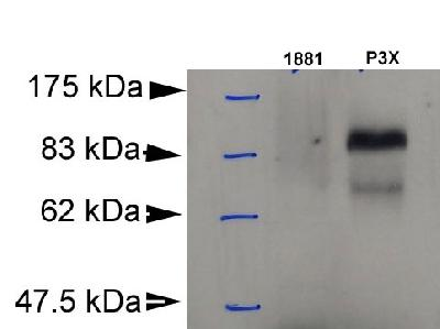 BLIMP1 / PRDM1 Antibody - Detection of Blimp-1 in murine plasmacytoma cell lysate (P3X). 1881: murine pre-B cell lysate (negative control).  This image was taken for the unconjugated form of this product. Other forms have not been tested.