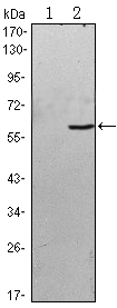 Western blot using BLK monoclonal antibody against HEK293 (1) and BLK(AA: 2-200)-hIgGFc transfected HEK293 (2) cell lysate.