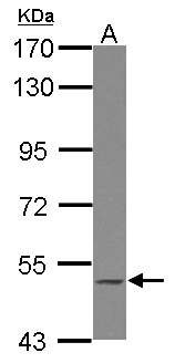 Sample (30 ug of whole cell lysate) A: Jurkat 7.5% SDS PAGE BLK antibody diluted at 1:1000