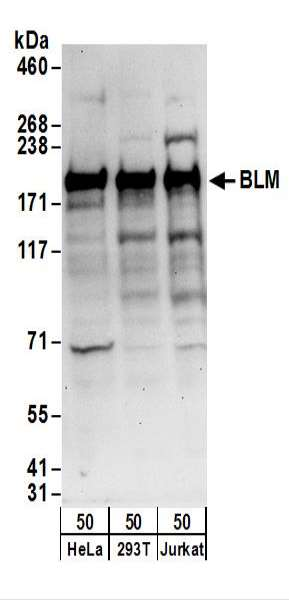 Detection of Human BLM by Western Blot. Samples: Whole cell lysate (50 ug) from HeLa, 293T, and Jurkat cells. Antibodies: Affinity purified rabbit anti-BLM antibody used for WB at 0.1 ug/ml. Detection: Chemiluminescence with an exposure time of 30 seconds.