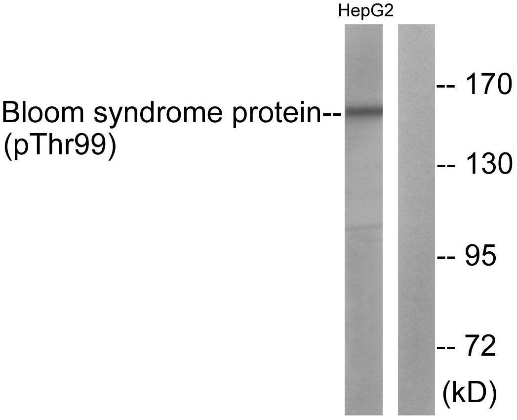 Western blot analysis of lysates from HepG2 cells, using Bloom Syndrome (Phospho-Thr99) Antibody. The lane on the right is blocked with the phospho peptide.