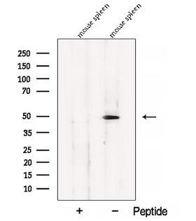 BLMH Antibody - Western blot analysis of extracts of COS-7 cells using BLMH antibody. The lane on the left was treated with blocking peptide.