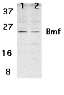 Western blot of Bmf expression in human HepG2 (lane 1) and 293 (lane 2) cell lysates with Bmf antibody at 2 ug /ml.