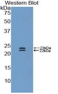 Western blot of recombinant BMP1 / BMP-1.  This image was taken for the unconjugated form of this product. Other forms have not been tested.